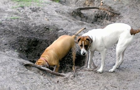 Baby J, a 6 year old Pit Bull mix loves to dig holes