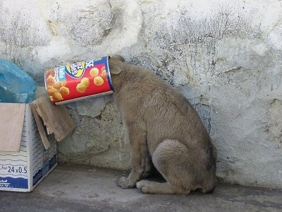 Baksheesh the wild dog from Afghanistan has its head in canister of Cheez Doodles. It is sitting against a stone wall.
