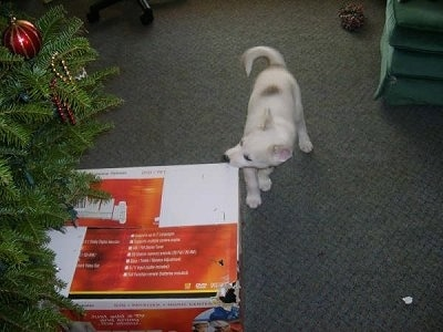 Spirit the Siberian Husky puppy is chewing on a box under a Christmas tree