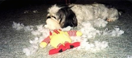 Jessica the Mal-Shi is laying on a carpet ripping a Ronald McDonald plush toy apart. There is stuffing all around her