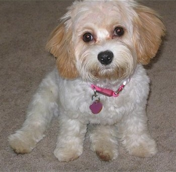 Francesca the Cavachon puppy sitting on a carpeted floor