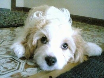 Close Up - Maggie the Cavachon puppy is laying on a tiled floor next to a throw rug and looking at the camera holder