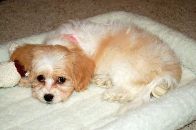 Chloe, the Cavachon Puppy