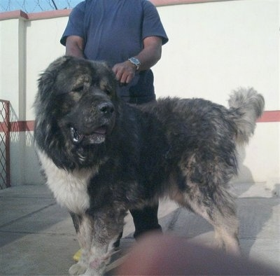 Caucasian Shepherd dog is standing in front of a large concrete wall. The Caucasian Shepherd is looking back. There is a person behind the dog