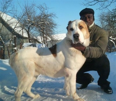 Dagar the Central Asian Ovtcharka is standing in snow next to a person that is holding its head and wearing winter gear