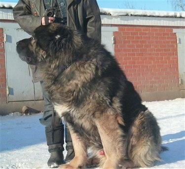 A Caucasian Shepherd Dog is sitting on snow in front of a person