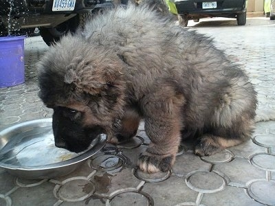 Old male caucasian shepherd puppy photo courtesy of petlove kennels