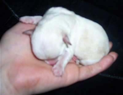 Chi-Chon puppy just hours old. Its mother is a Chihuahua and father a Bichon Frise