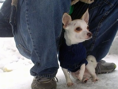 Aidan the Chihuahua is wearing a blue sweater outside in the snow and sitting  with one paw in the air in front of a crouching person