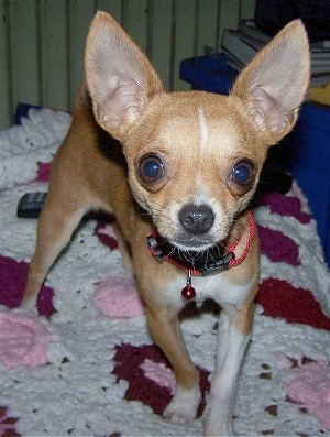 Moose, the Chihuahua at 2 � years old, weighing 4 pounds