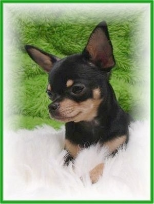 Vians Big Mac Attack, nicknamed Mac, a full grown male Chihuahua. Courtesy of Vian Kennels