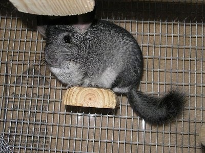 A grey with white Chinchilla is standing on a wood block that is attached to the side of a cage.
