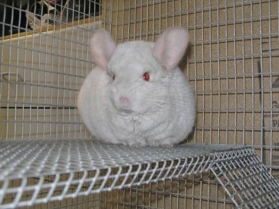 A Pink White Chinchilla is standing on the second level of a white cage. It is looking forward.