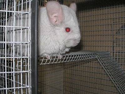 Close up - A Pink White Chinchilla is standing on the top level of a cage and it is looking to the right.