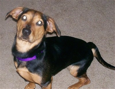 Rosey the black and tan Chiweenie is sitting on a carpet and looking up at the camera holder