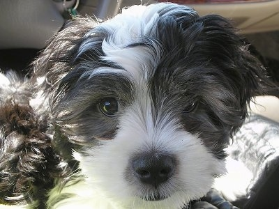 Cock A Tzu Dog Breed Information And Pictures