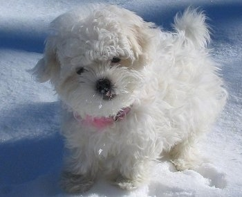 Juicy the pure white Coton De Tulear puppy is wearing a pink collar and sitting in snow