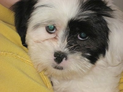 Close Up - Dominoe the Coton Tzu puppy is being held up to a person's chest who is wearing a yellow fleese shirt