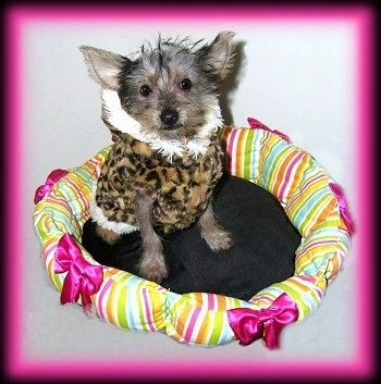 Vixxi the Crustie puppy with a leopard print coat on and sitting in a dog bed that has a bunch of ribbons and colors on the edges