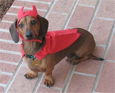 Dieter, the adult Dachshund all dressed up for Halloween