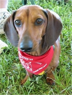 Dachshund dog in red scarf