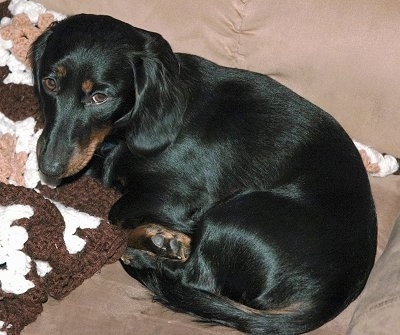 Black Dachshund dog lying down