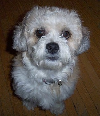 ... the Dandie Dinmont Terrier at 9 years old with a long haired puppy cut