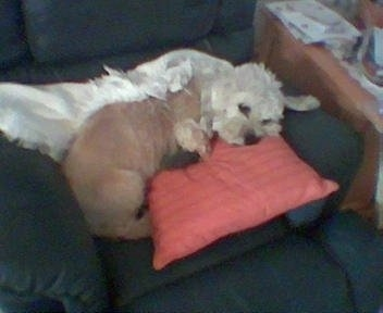 Longfellow the Dandie Dinmont Terrier is sleeping on a chair on top of a pink pillow with a white blanket behind him.