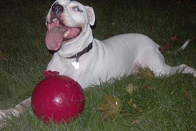 Close Up - taylor the Dogo is laying behind a red ball and looking up. His mouth is open and his tongue is out