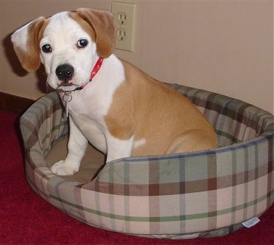 Otis the tan with white Eng/Am Bulldog puppy is sitting in a brown and green plaid dog bed that is on top of a red capret and looking forward