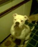Kojak the white EngAm Bulldog is sitting in a roomm on a green tiled floor. There is a smaller dog behind it