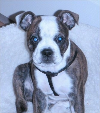 Bailey the brown, brindle and white English Boston-Bulldog puppy is sitting on a white dog bed and looking up