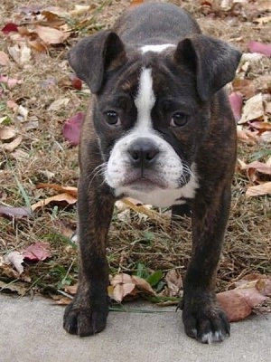 English Boston-Bulldog Dog Breed Information and Pictures, Boston ...