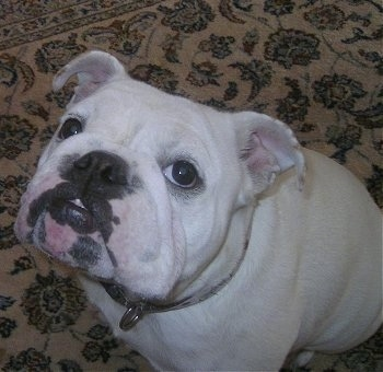A white English Bulldog sitting on a tan oriental rug and looking at the camera holder