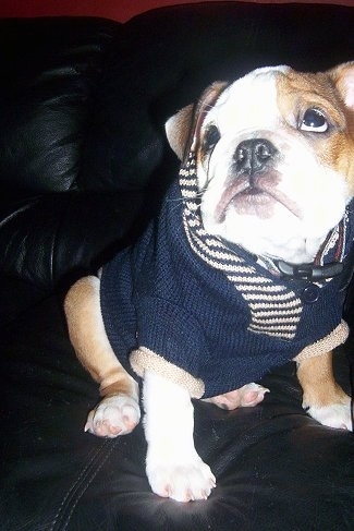 Spicey MacHaggis the English Bulldog puppy sitting on a black leather couch wearing a knitted blue and white sweater looking up