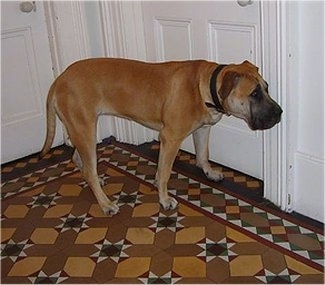 Racket the tan and black English Mastweiler is standing on top of a brown, tan and white rug in front of two white doors