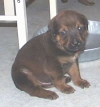 A black with tan English Mastweiler puppy is sittting on a tan carpet in front of an gray aluminum pan and a white table