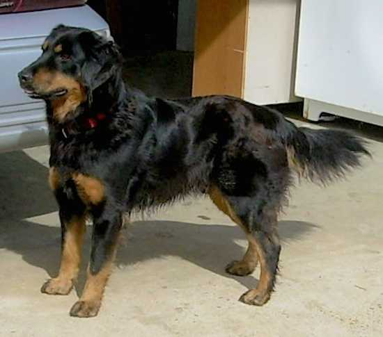 Axl the black and tan English Shepherd is standing in a garage. There is a car next to it.