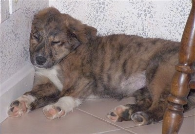 Sophie the brown brindle and white Euro Mountain Sheparnese puppy is sleeping against a kitchen wall. There is a table in front of her