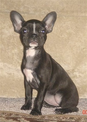 A black with white Faux Frenchbo Bulldog puppy is sitting in front of a tan couch looking proud.