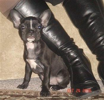 A black with white Faux Frenchbo Bulldog puppy is sitting in front of a tan couch next to a person's black leather boot.