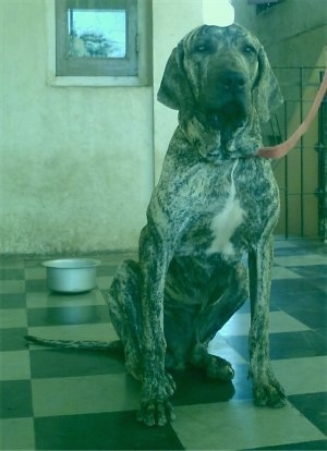A tan and black brindle with white Fila Brasileiro dog is sitting on a tiled black and white checkered floor with a silver bowl behind it