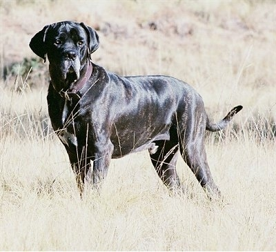 A black brindle with white Fila Brasileiro is wearing a brown leather collar and standing in a field of brown grass.