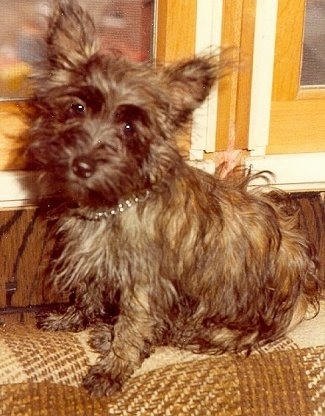 Petite, a female Fourche Terrier at 7 months old