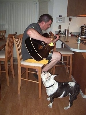 Tug the white with black brindle Free-Lance Bulldog is standing next to a chair. On the chair is a man playing a guitar