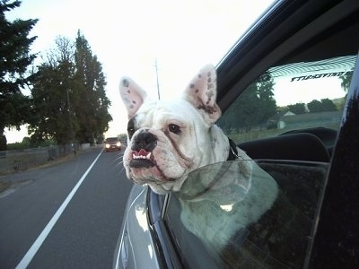Tug the white with black ticked Free-Lance Bulldog is in the back seat of a moving car with his head out the window.