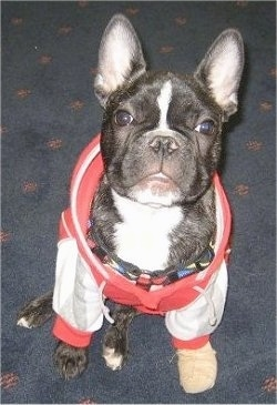 A black brindle and white French Bulldog puppy is sitting on a blue carpet. It is wearing a red with white jacket and one tan shoe