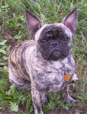 A brown brindle Frenchie Pug is sitting in a field and looking up
