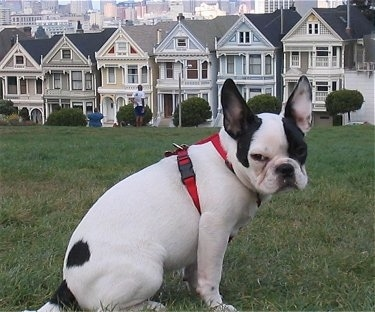 A white with black Frenchie Pug is sitting in a field. There is a person and a line of san francisco style houses behind it.