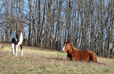 A brown with white horse is laying in a field across from a white and brown paint pony. The pony is on the left and is standing up and the horse is laying down on the right.